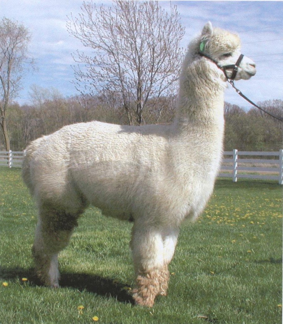 zodiac-alpaca-dante.jpg