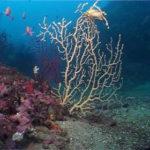 Gerardia Savaglia detto corallo nero