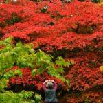 Un acero in autunno